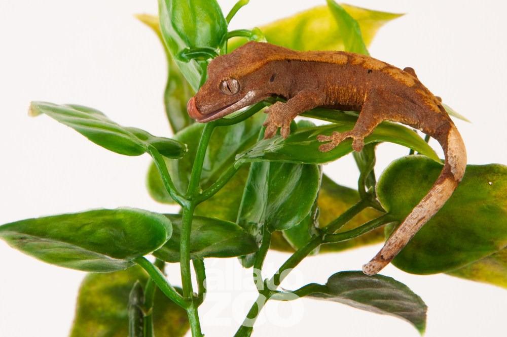 Rhacodactylus ciliatus eladó