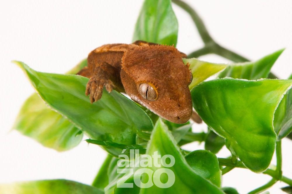 Új-kaledóniai vitorlásgekkó (Rhacodactylus ciliatus)